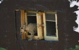 In Primorye, camera traps captured the kitten of a leopard running away from a fire